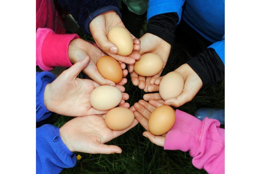 Collecting free range eggs