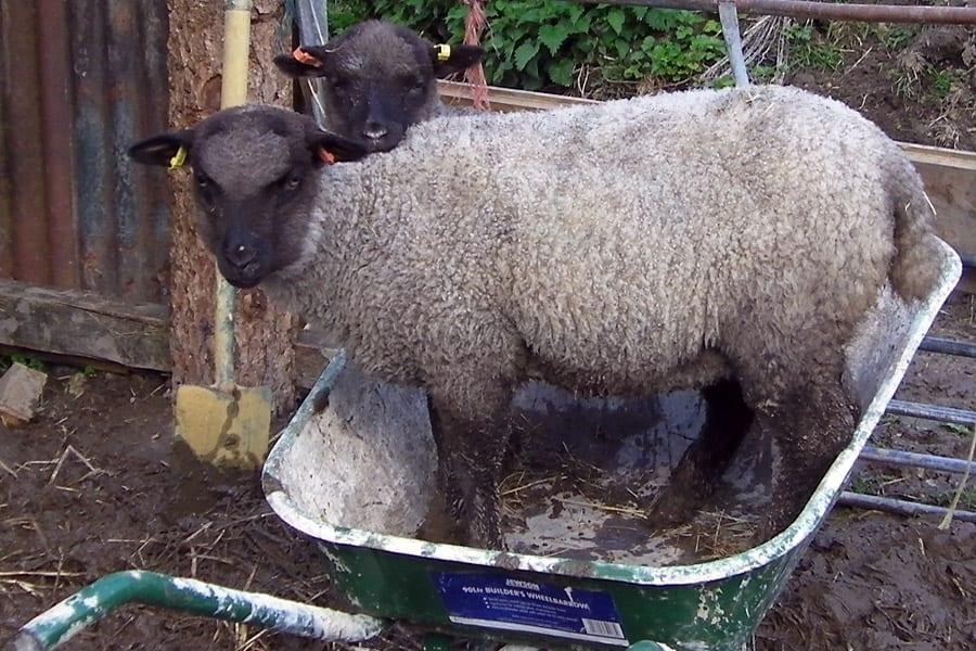 Cheeky lambs in our wheelbarrow